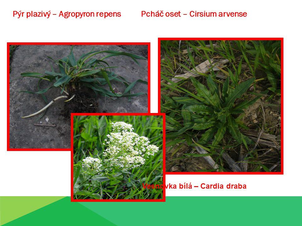 Pýr plazivý – Agropyron repens Pcháč oset – Cirsium arvense Vesnovka bílá – Cardia draba