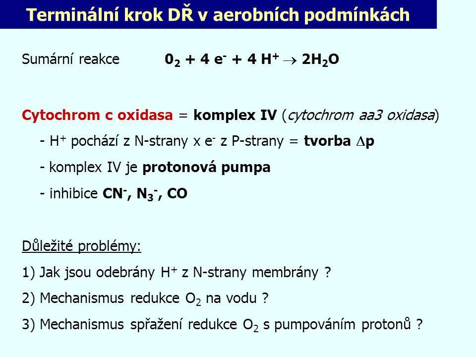 Terminální krok DŘ v aerobních podmínkách Sumární reakce 0 2 + 4 e - + 4 H +  2H 2 O Cytochrom c oxidasa = komplex IV (cytochrom aa3 oxidasa) - H + p