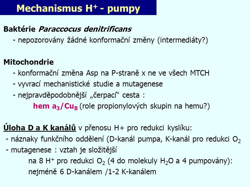 Mechanismus H + - pumpy Baktérie Paraccocus denitrificans - nepozorovány žádné konformační změny (intermediáty?) Mitochondrie - konformační změna Asp