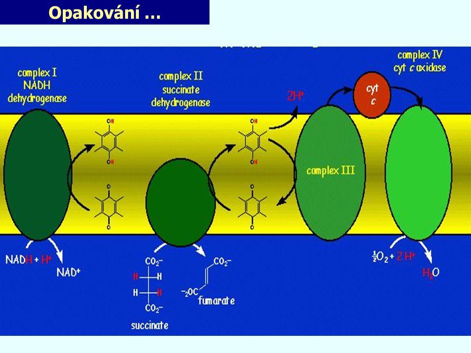 """Mechanismus H + - pumpy Baktérie Paraccocus denitrificans - nepozorovány žádné konformační změny (intermediáty?) Mitochondrie - konformační změna Asp na P-straně x ne ve všech MTCH - vyvrací mechanistické studie a mutagenese - nejpravděpodobnější """"čerpací cesta : hem a 3 /Cu B (role propionylových skupin na hemu?) Úloha D a K kanálů v přenosu H+ pro redukci kyslíku: - náznaky funkčního oddělení (D-kanál pumpa, K-kanál pro redukci O 2 - mutagenese : vztah je složitější na 8 H + pro redukci O 2 (4 do molekuly H 2 O a 4 pumpovány): nejméně 6 D-kanálem /1-2 K-kanálem"""