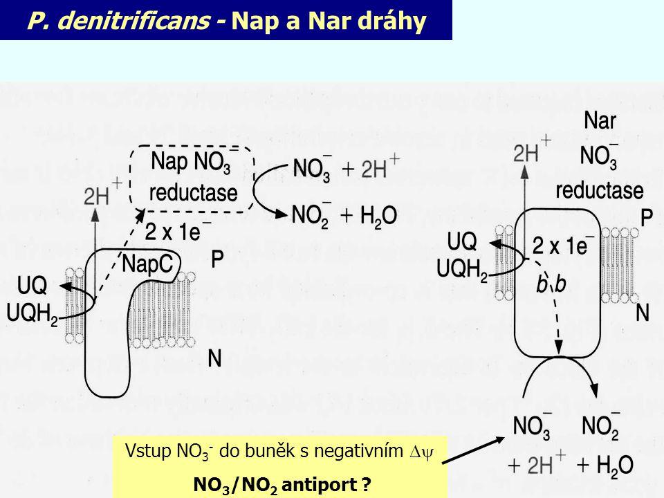 P. denitrificans - Nap a Nar dráhy Vstup NO 3 - do buněk s negativním  NO 3 /NO 2 antiport ?