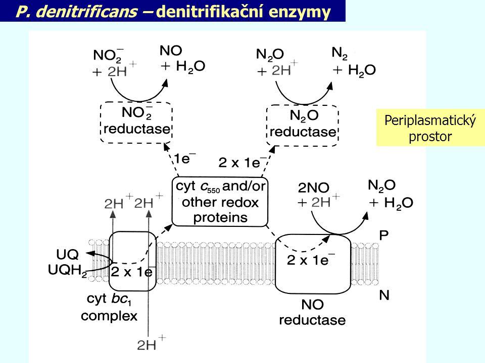 P. denitrificans – denitrifikační enzymy Periplasmatický prostor