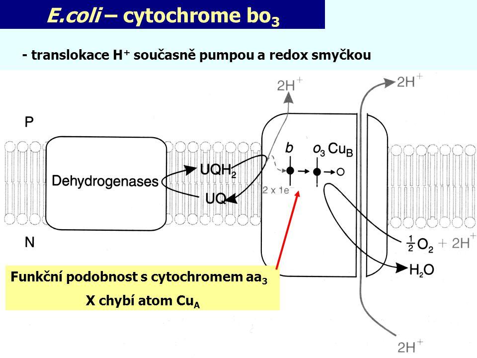 E.coli – cytochrome bo 3 Funkční podobnost s cytochromem aa 3 X chybí atom Cu A - translokace H + současně pumpou a redox smyčkou