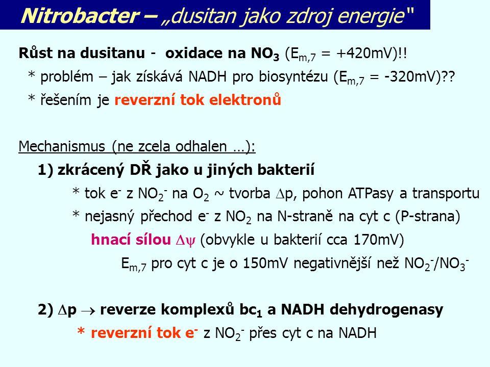 """Nitrobacter – """"dusitan jako zdroj energie"""" Růst na dusitanu - oxidace na NO 3 (E m,7 = +420mV)!! * problém – jak získává NADH pro biosyntézu (E m,7 ="""