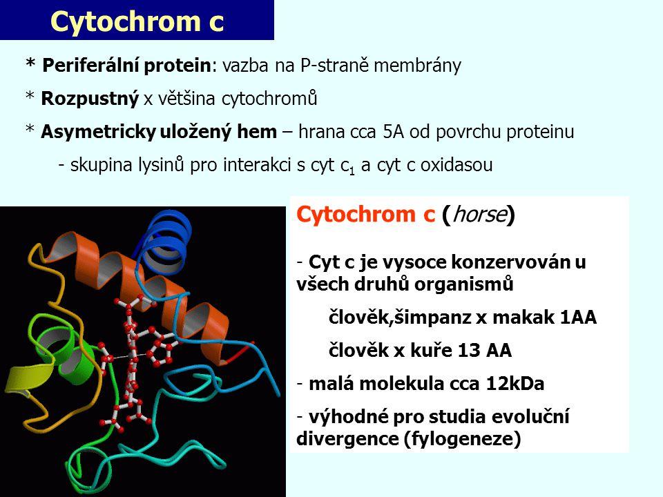 Alternativní oxidasa Důležitá odlišnost MTCH rostlin, hub, řas a prvoků (homologní) - systematicky ubichinol-O 2 oxidoreduktasa - přímý přenos e- z UQH 2 na O 2 bez komplexu III a IV - není inhibována CN - - inhibice SHAM (salicylhydroxamic acid) x ne antimycinem Funkce AOX: Produkce tepla - volatilizace aromat - růst při nízké teplotě 2) Oxidativní metabolismus bez syntézy ATP 3) Odčerpávání e - z UQH 2 pro omezení produkce ROS ?