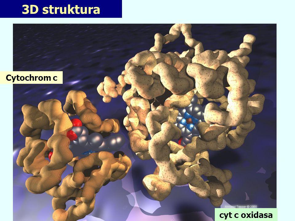 Evoluce cyt c oxidasy Živočišný enzym (13 podjednotek) Bakteriální enzym (4 nejdůležitější podjednotky)
