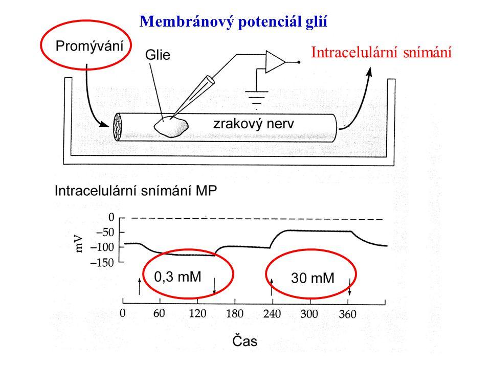 Membránový potenciál glií Intracelulární snímání
