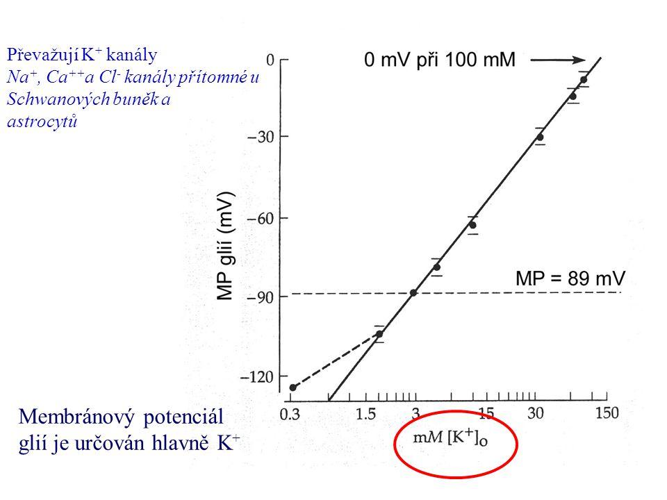 Převažují K + kanály Na +, Ca ++ a Cl - kanály přítomné u Schwanových buněk a astrocytů Membránový potenciál glií je určován hlavně K +