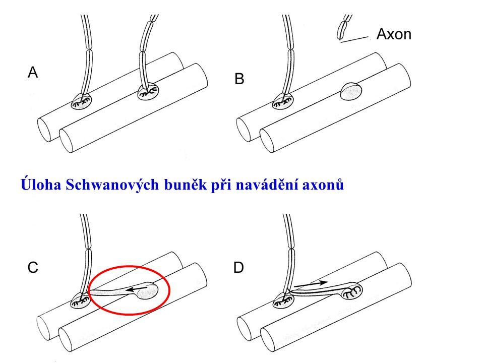 Úloha Schwanových buněk při navádění axonů