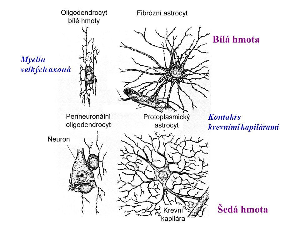 velkých axonů Kontakt s krevními kapilárami Bílá hmota Šedá hmota