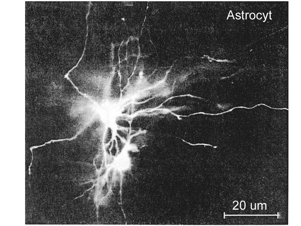 Vliv neuronální aktivity ICT Stimulace Glie nasávají K +