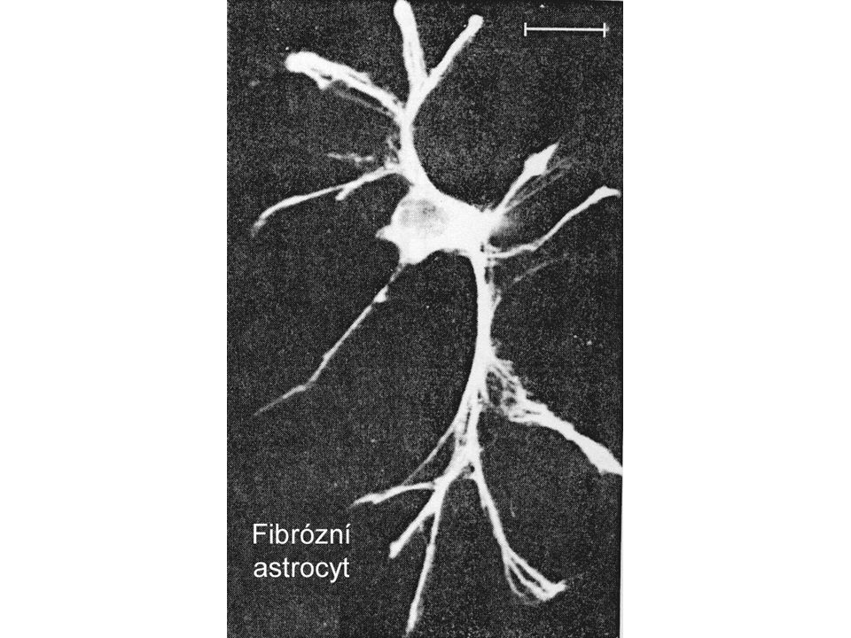 3D Řez Vztahy mezi krevními kapilárami, gliemi a neurony Bazální membrána Endotel kapiláry