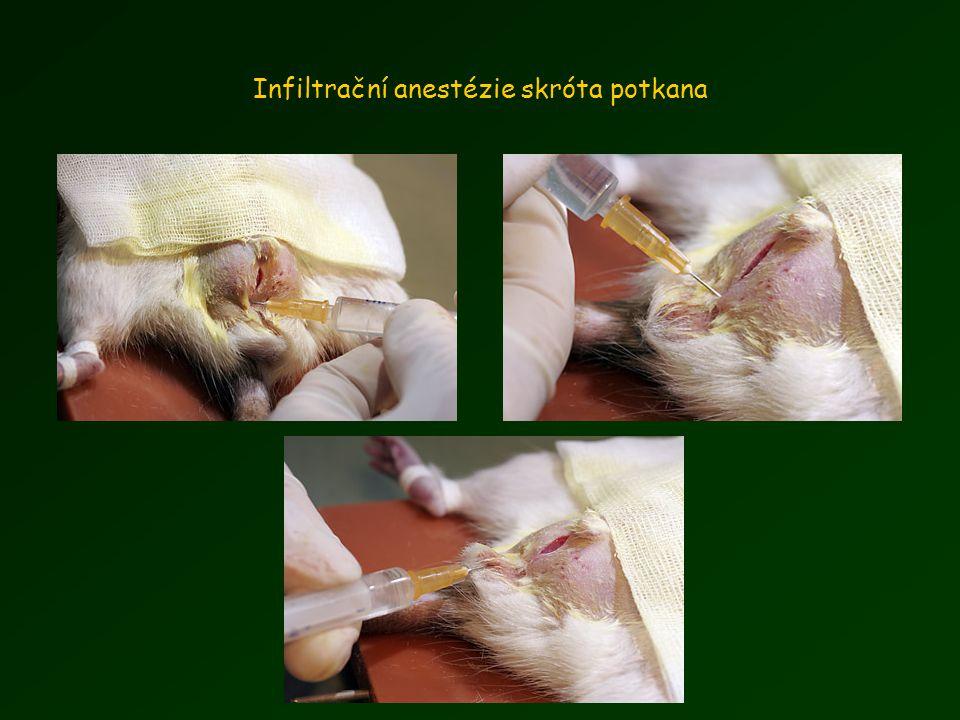 Infiltrační anestézie skróta potkana