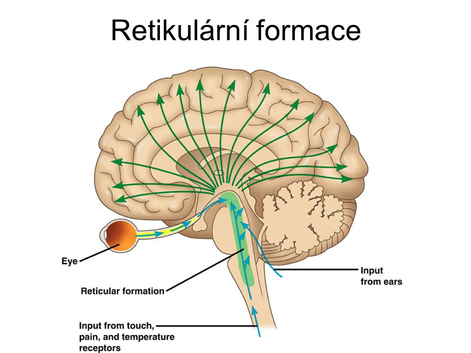 gyri Gyrus angularis – iritace vede k out-of- body experiences Gyrus fusiformis – face recognition area (deficit u autismu)