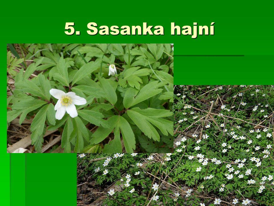 5. Sasanka hajní