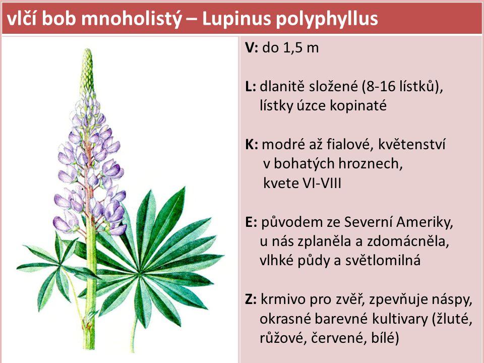 vlčí bob mnoholistý – Lupinus polyphyllus V: do 1,5 m L: dlanitě složené (8-16 lístků), lístky úzce kopinaté K: modré až fialové, květenství v bohatýc