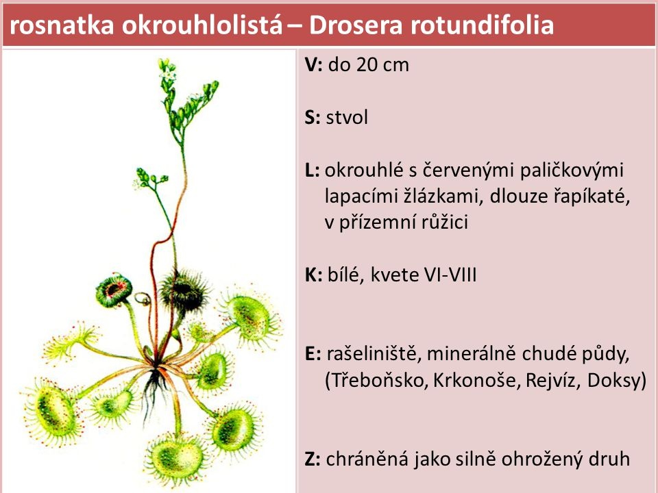 ČELEĎ: BOBOVITÉ plodem je lusk nebo struk (zaškrcovaný na jednosemenné části) byliny i dřeviny dříve motýlokvěté nebo vikvovité květ složený z 5 tvarově rozlišených korunních lístků (horní pavéza, dvě postranní křídla a dva dolní srostlé v člunek) v kořenových hlízkách žijí symbiotické nitrogenní bakterie patří sem i jetel, vikev, hrách, fazole, čočka, podzemnice aj.