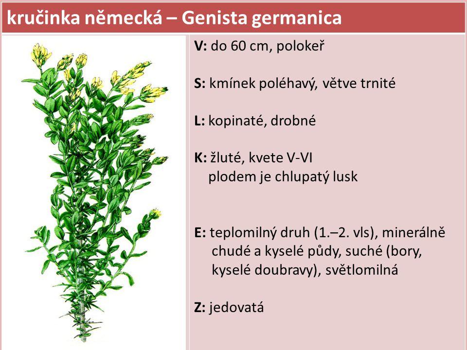 kručinka německá – Genista germanica V: do 60 cm, polokeř S: kmínek poléhavý, větve trnité L: kopinaté, drobné K: žluté, kvete V-VI plodem je chlupatý
