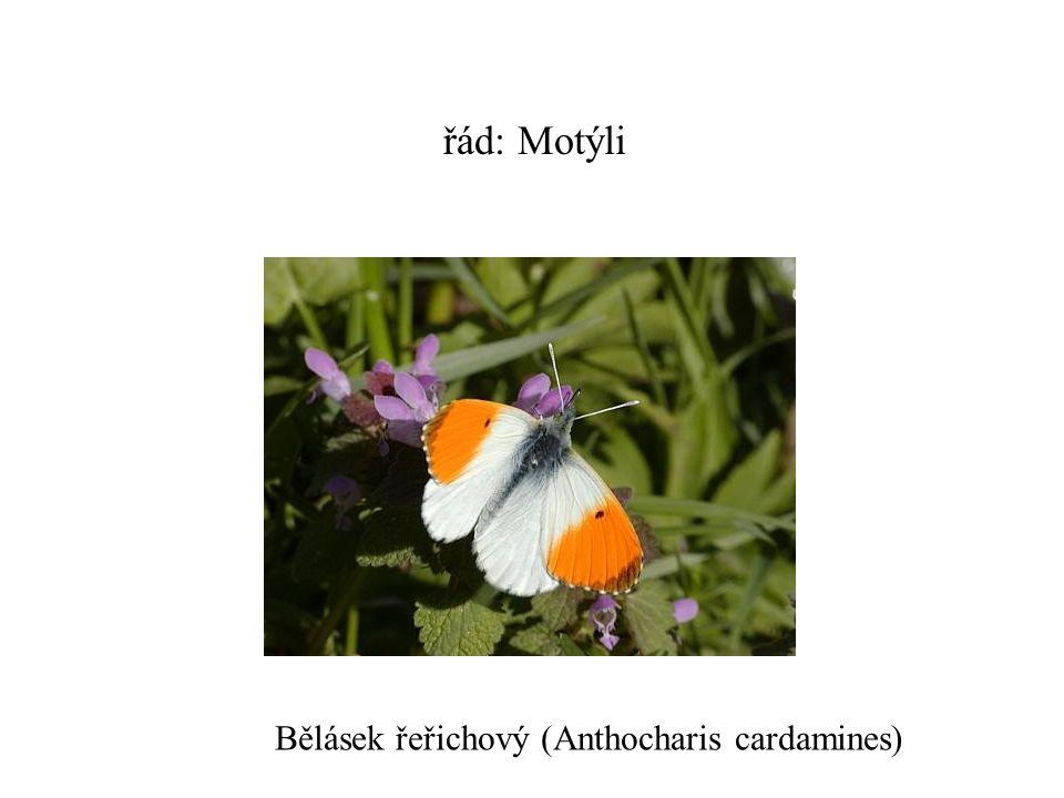 řád: Motýli Bělásek řeřichový (Anthocharis cardamines)