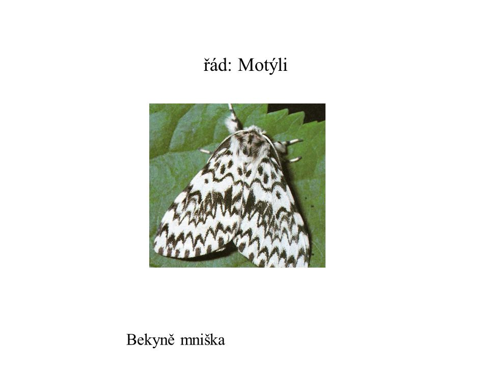 řád: Motýli Bekyně mniška