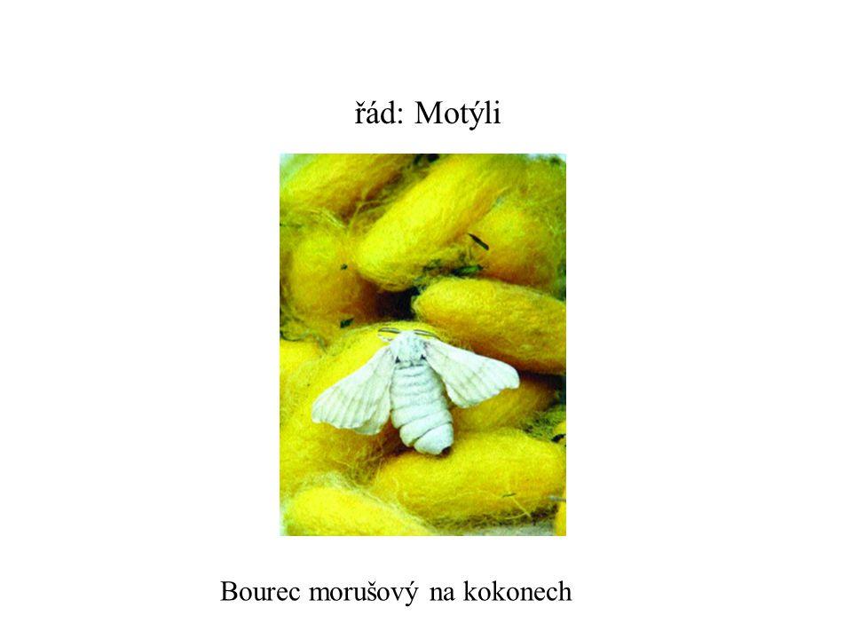 řád: Motýli Bourec morušový na kokonech