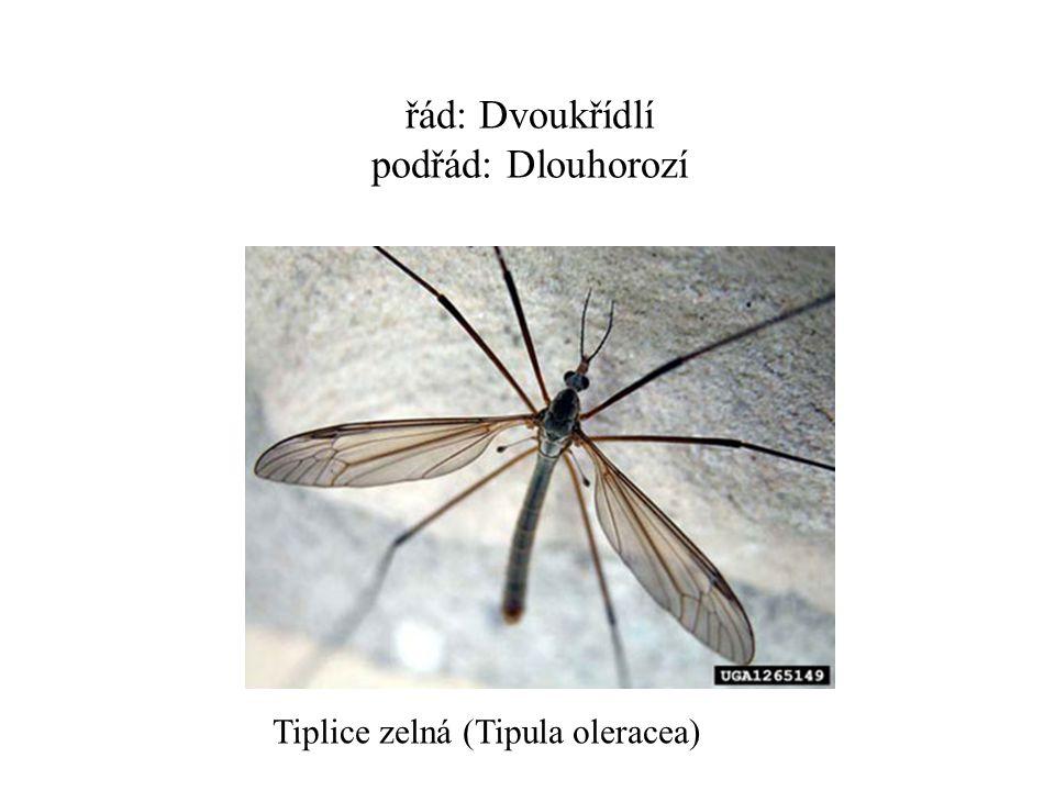 řád: Dvoukřídlí podřád: Dlouhorozí Tiplice zelná (Tipula oleracea)