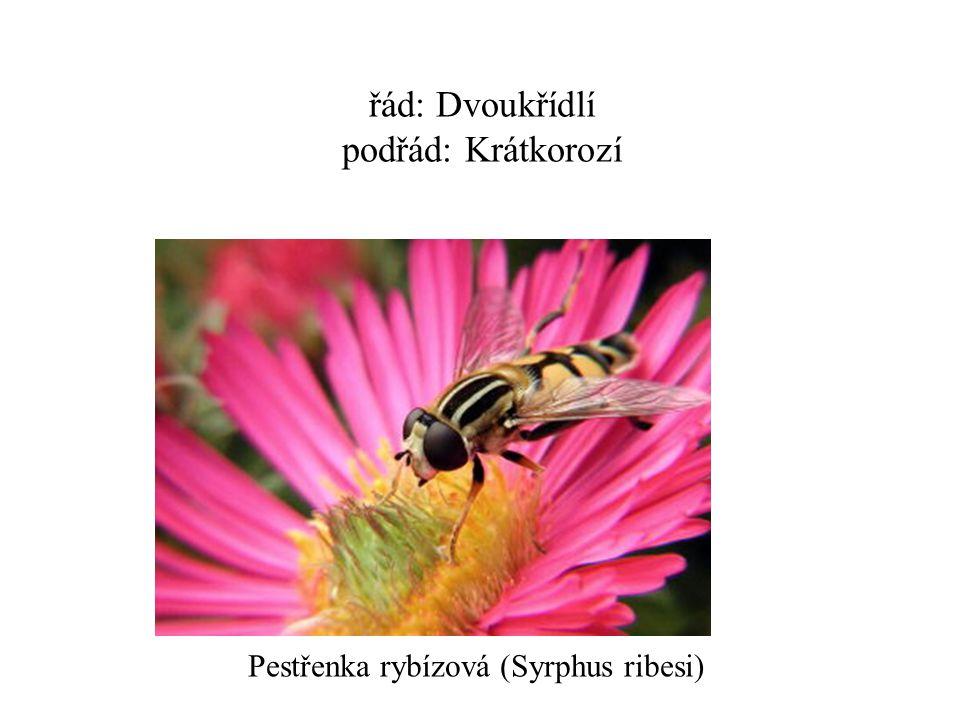 řád: Dvoukřídlí podřád: Krátkorozí Pestřenka rybízová (Syrphus ribesi)
