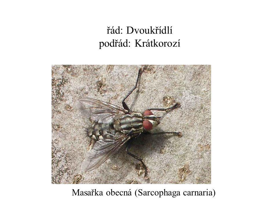 řád: Dvoukřídlí podřád: Krátkorozí Masařka obecná (Sarcophaga carnaria)