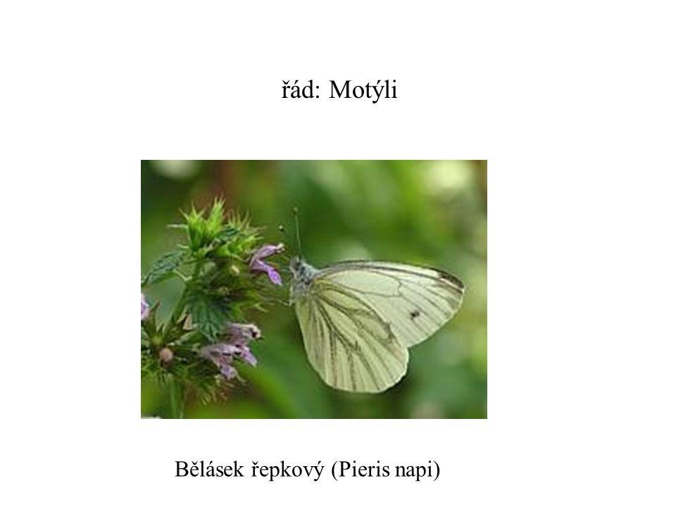 řád: Motýli Bělásek řepkový (Pieris napi)