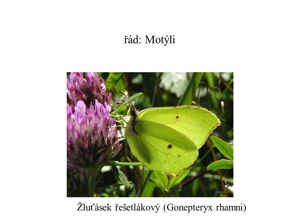 řád: Motýli Žluťásek řešetlákový (Gonepteryx rhamni)
