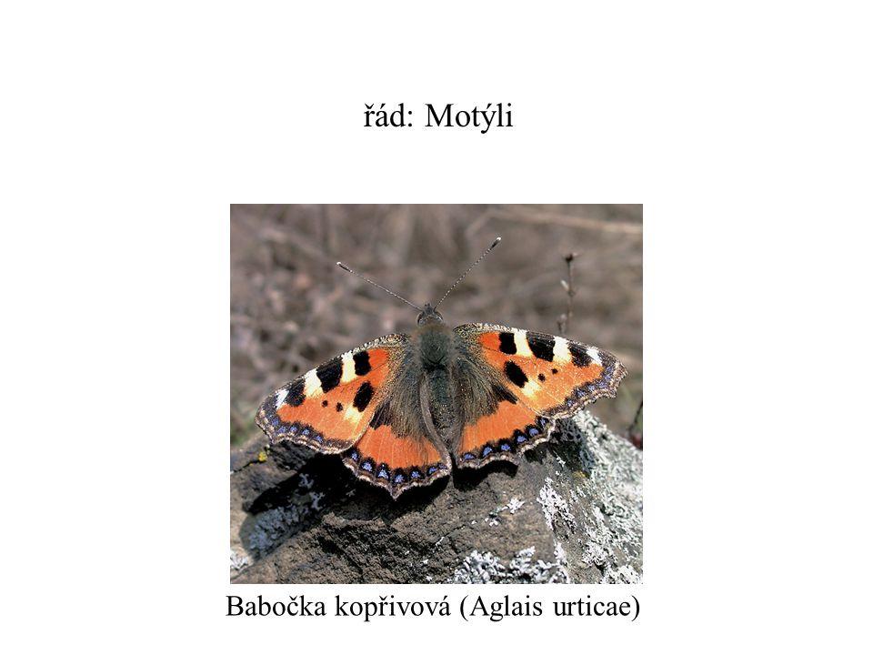 řád: Motýli Babočka kopřivová (Aglais urticae)