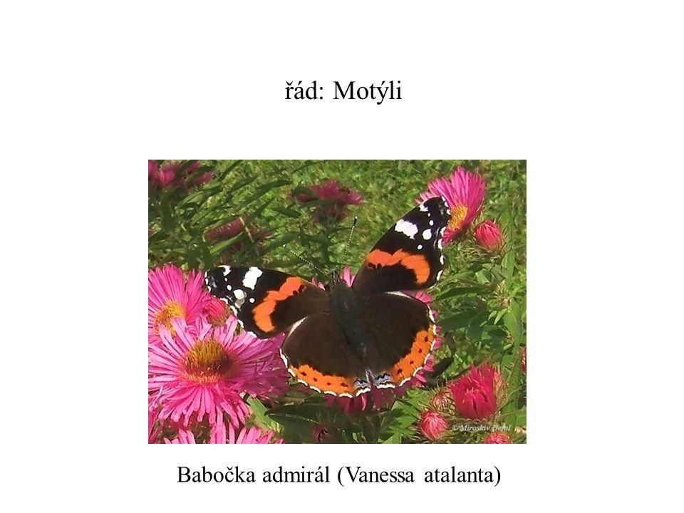 řád: Motýli Babočka admirál (Vanessa atalanta)
