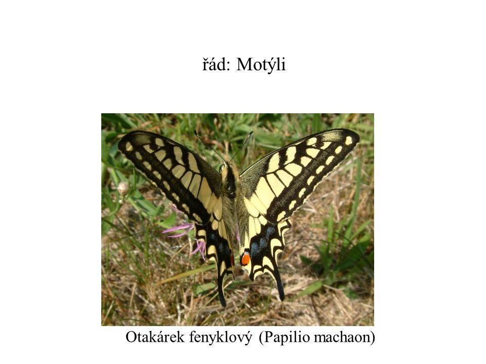 řád: Motýli Otakárek fenyklový (Papilio machaon)