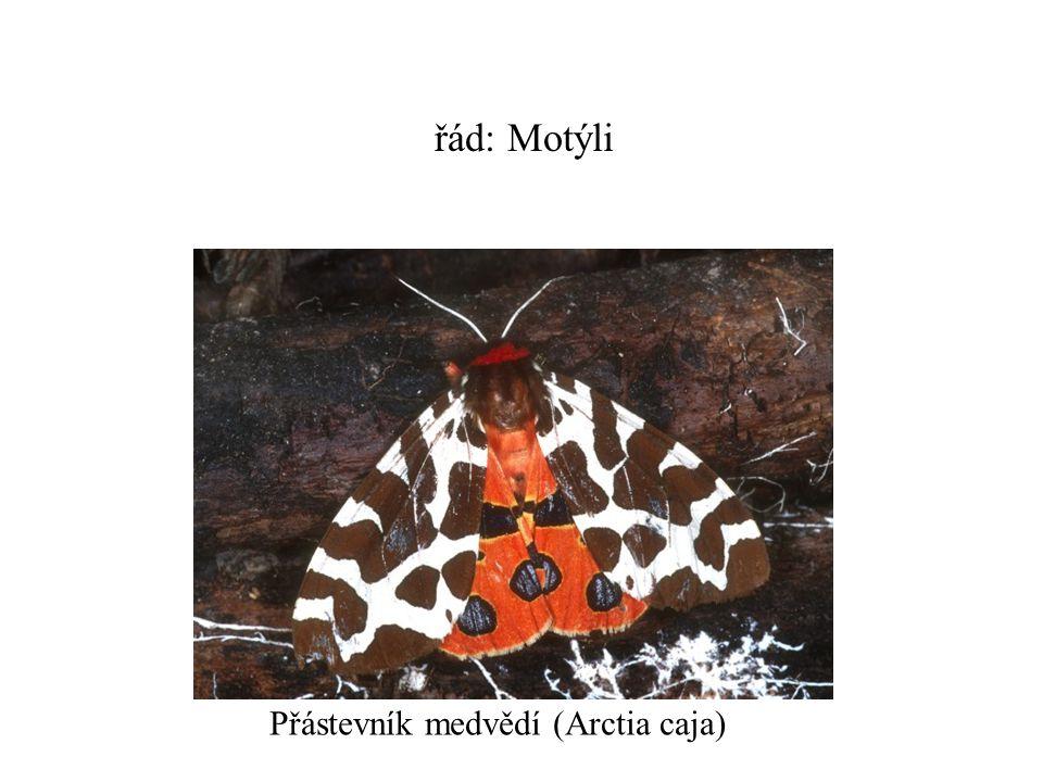 řád: Motýli Přástevník medvědí (Arctia caja)