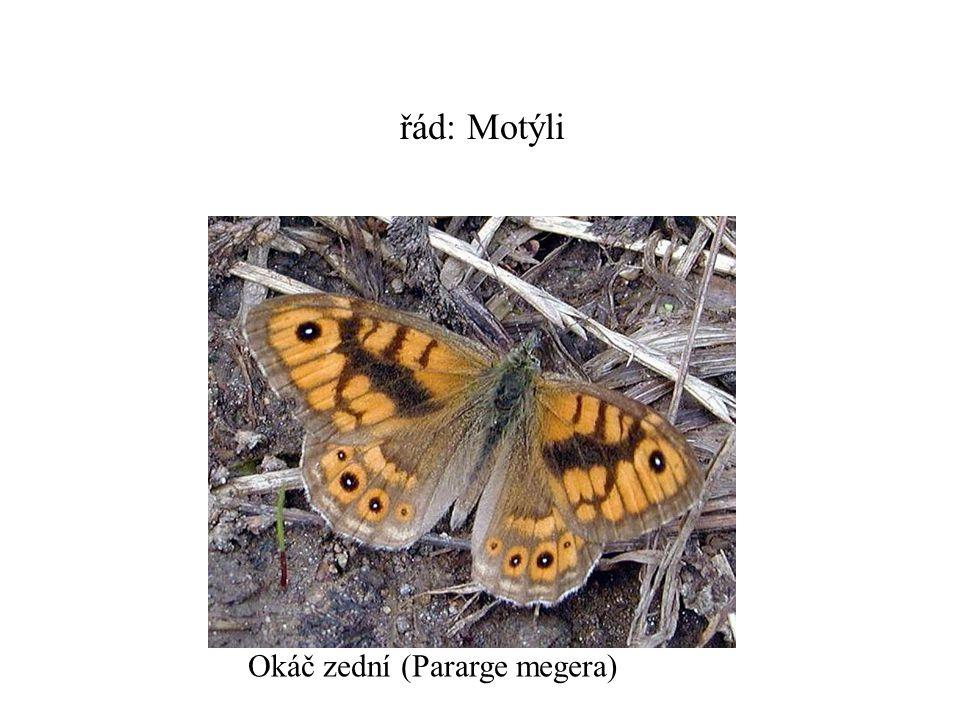 řád: Motýli Okáč zední (Pararge megera)