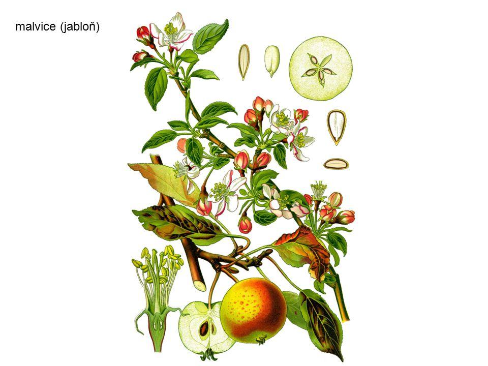 malvice (jabloň)