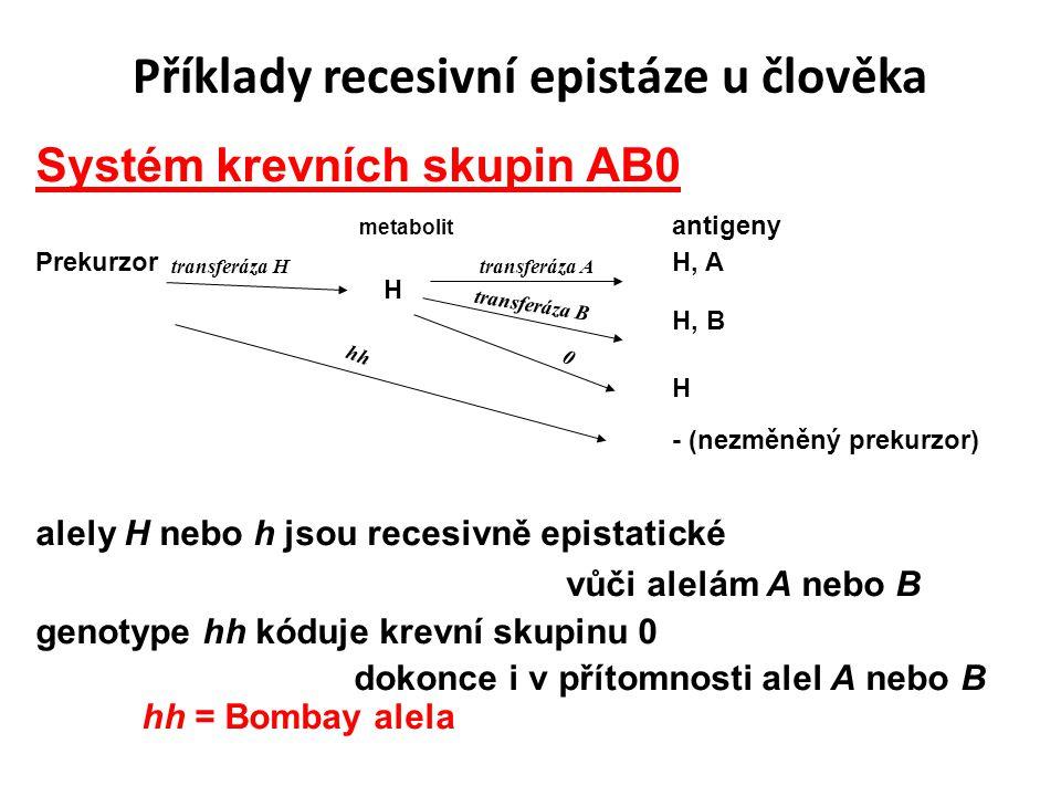 Příklady recesivní epistáze u člověka Systém krevních skupin AB0 metabolit antigeny Prekurzor H, A H H, B H - (nezměněný prekurzor) alely H nebo h jsou recesivně epistatické vůči alelám A nebo B genotype hh kóduje krevní skupinu 0 dokonce i v přítomnosti alel A nebo B hh = Bombay alela transferáza Htransferáza A transferáza B 0 hh