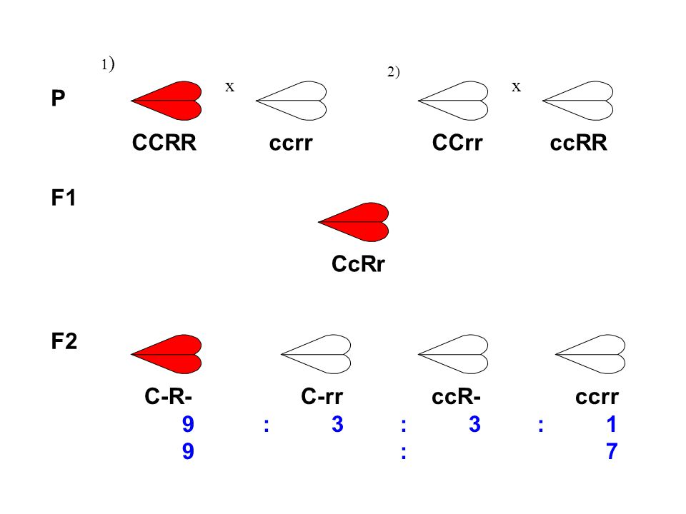 P 1)1) x 2) x F1 CCRR ccrr CCrr ccRR CcRr C-R- C-rr ccR- ccrr 9:3:3:1 9 :7 F2