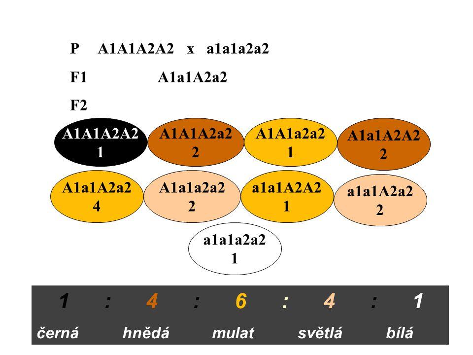 P A1A1A2A2 x a1a1a2a2 F1 A1a1A2a2 F2 A1A1A2A2 1 A1A1A2a2 2 A1A1a2a2 1 A1a1A2A2 2 A1a1A2a2 4 A1a1a2a2 2 a1a1A2A2 1 a1a1A2a2 2 a1a1a2a2 1 1 : 4 : 6 : 4 : 1 černá hnědá mulat světlá bílá