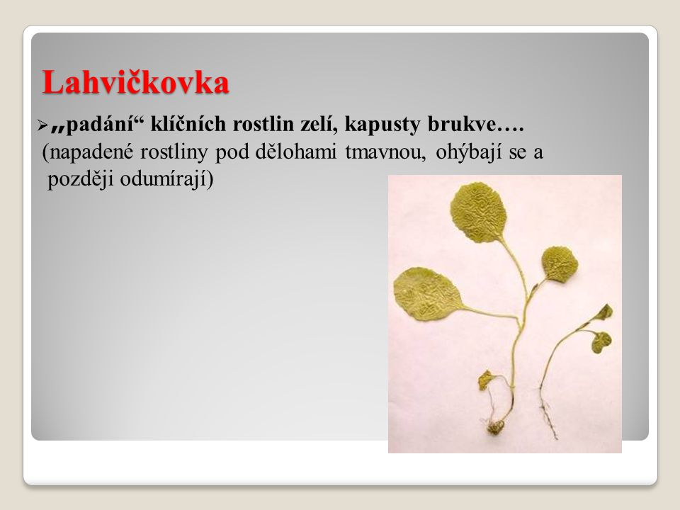 """Lahvičkovka  """" padání"""" klíčních rostlin zelí, kapusty brukve…. (napadené rostliny pod dělohami tmavnou, ohýbají se a později odumírají)"""