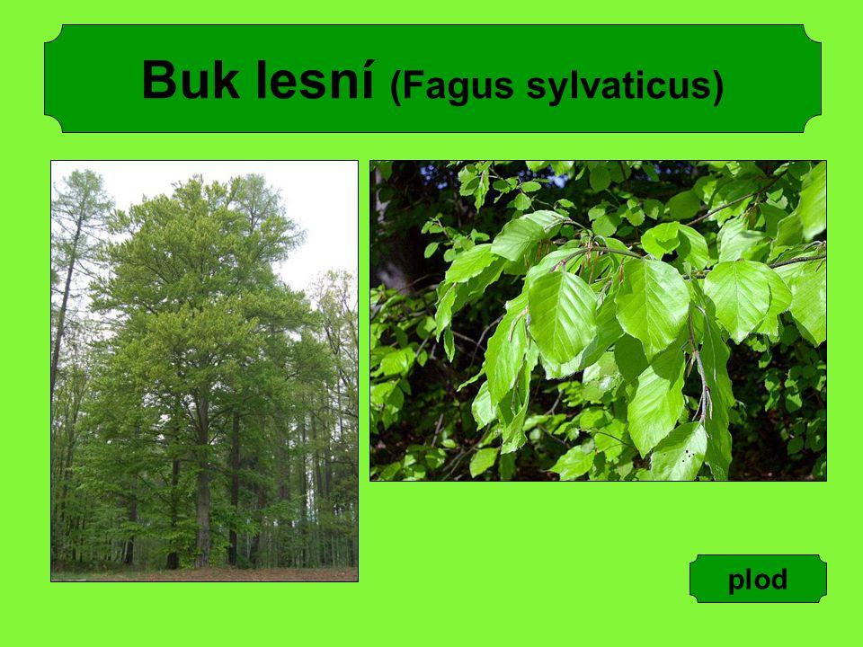 Buk lesní (Fagus sylvaticus) plod
