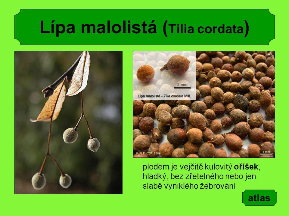 Lípa malolistá ( Tilia cordata ) plodem je vejčitě kulovitý oříšek, hladký, bez zřetelného nebo jen slabě vyniklého žebrování atlas