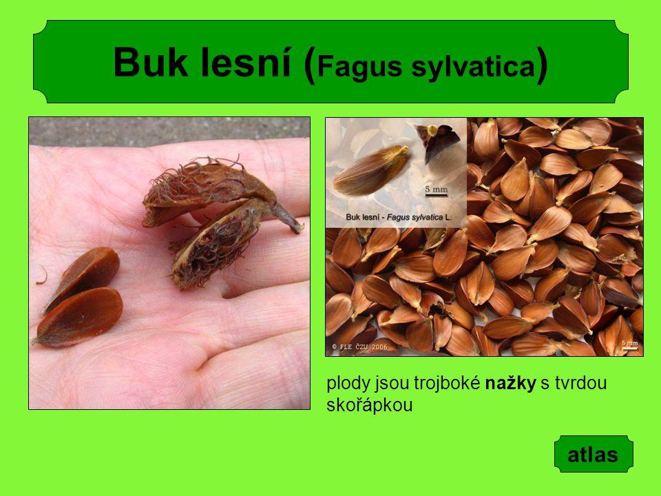 Buk lesní ( Fagus sylvatica ) plody jsou trojboké nažky s tvrdou skořápkou atlas
