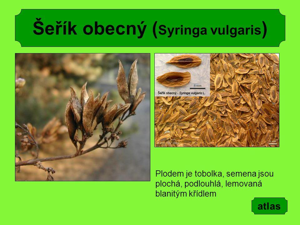 Šeřík obecný ( Syringa vulgaris ) Plodem je tobolka, semena jsou plochá, podlouhlá, lemovaná blanitým křídlem atlas