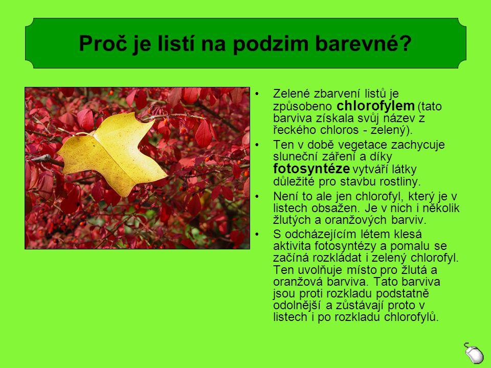 Zelené zbarvení listů je způsobeno chlorofylem (tato barviva získala svůj název z řeckého chloros - zelený). Ten v době vegetace zachycuje sluneční zá