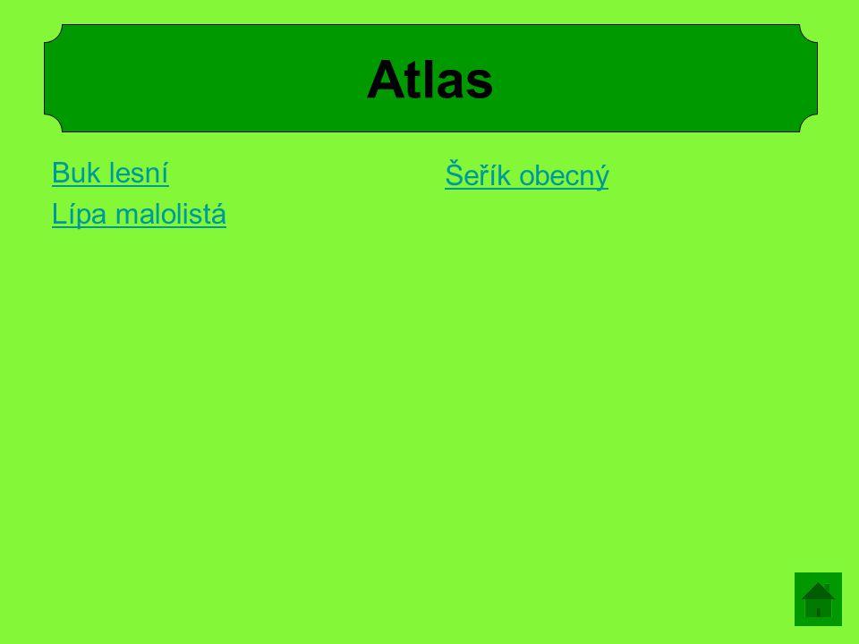 Atlas Buk lesní Lípa malolistá Šeřík obecný