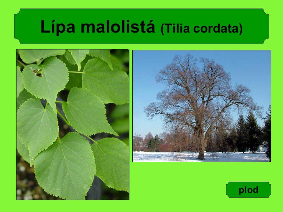 Lípa malolistá (Tilia cordata) plod
