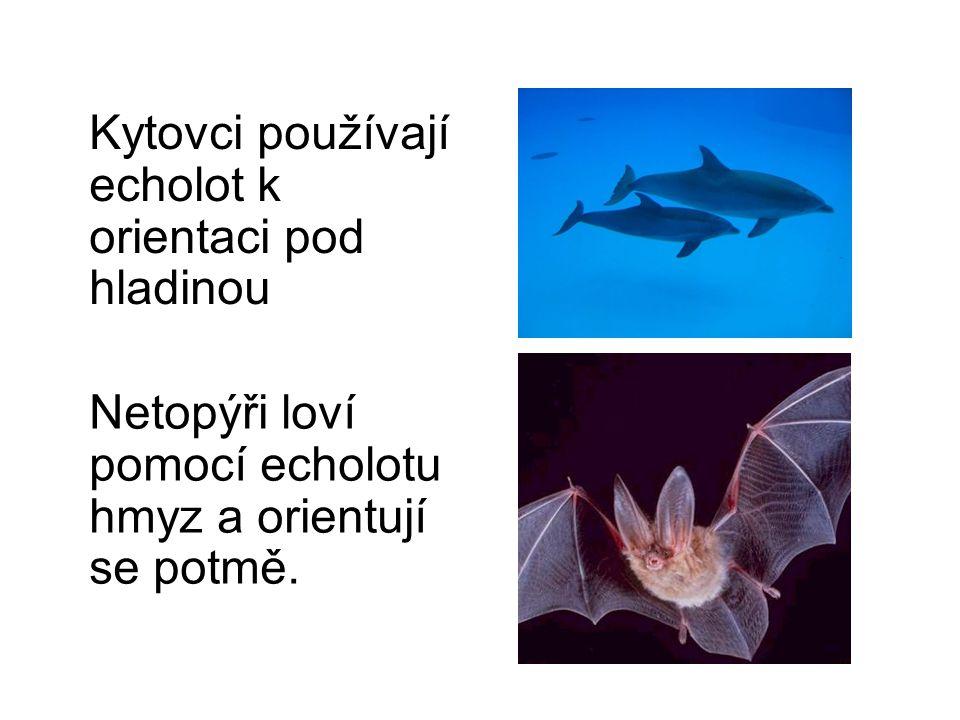 Kytovci používají echolot k orientaci pod hladinou Netopýři loví pomocí echolotu hmyz a orientují se potmě.