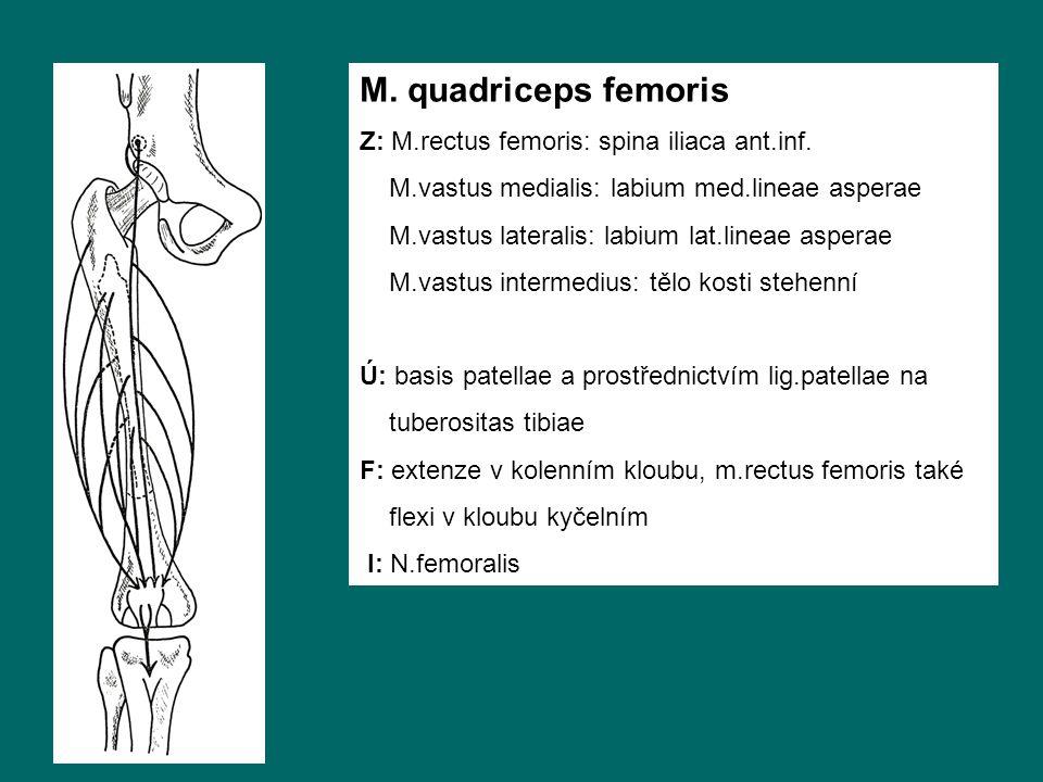 M. quadriceps femoris Z: M.rectus femoris: spina iliaca ant.inf. M.vastus medialis: labium med.lineae asperae M.vastus lateralis: labium lat.lineae as