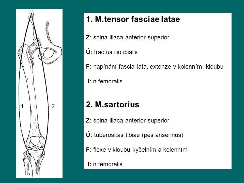 1. M.tensor fasciae latae Z: spina iliaca anterior superior Ú: tractus iliotibialis F: napínání fascia Iata, extenze v kolenním kloubu I: n.femoralis